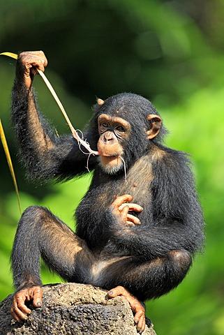 Chimpanzee (Pan troglodytes troglodytes), young, feeding, Singapore, Asia