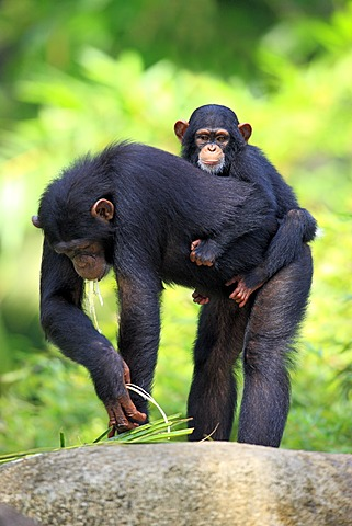 Chimpanzee (Pan troglodytes troglodytes), adult female with young, Singapore, Asia