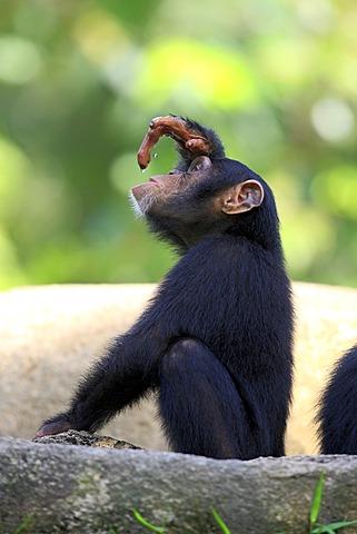 Chimpanzee (Pan troglodytes troglodytes), young, Singapore, Asia