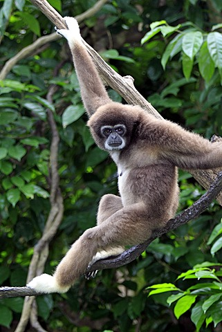 Lar or White-handed gibbon (Hylobates lar), on tree, Singapore, Asia