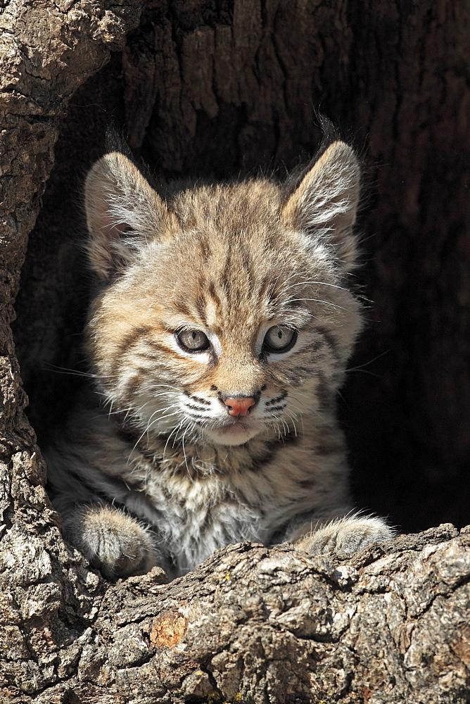 Bobcat (Lynx rufus), kitten, eight weeks, portrait, den, tree trunk, Montana, USA, North America
