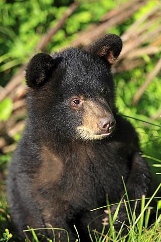 American Black Bear (Ursus americanus), cub, six months, portrait, Montana, USA, North America
