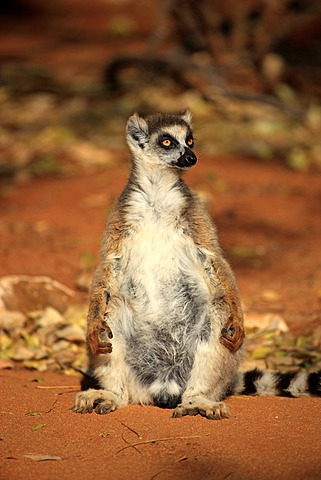 Ring-tailed Lemur (Lemur catta), adult sunbathing, Berenty Reserve, Madagascar, Africa