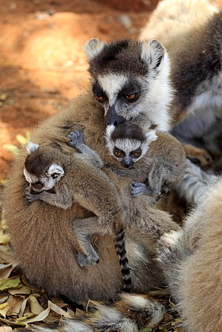 Ring-tailed Lemur (Lemur catta), mother with offspring, Berenty Reserve, Madagascar, Africa