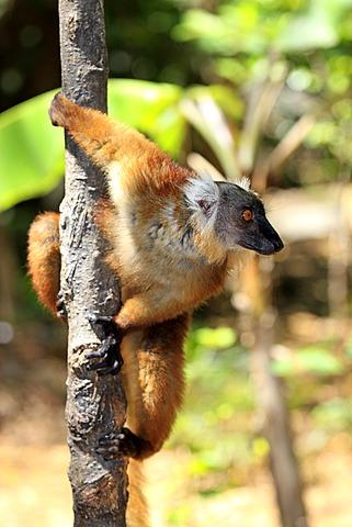 Black Lemur (Eulemur macaco), female adult in a tree, Nosy Komba, Madagascar, Africa