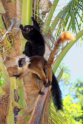 Black Lemur (Eulemur macaco), pair, Nosy Komba, Madagascar, Africa