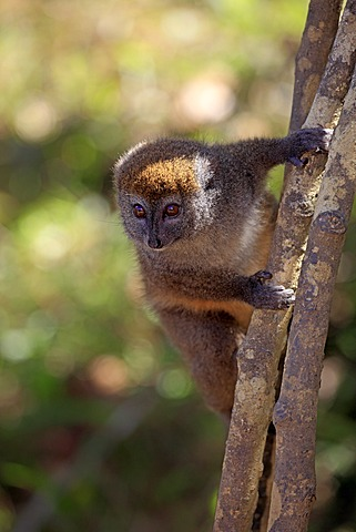 Eastern Lesser Bamboo Lemur (Hapalemur griseus), adult in a tree, Madagascar, Africa