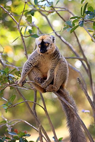 Red-fronted Lemur (Lemur fulvus rufus), adult in a tree, Berenty Reserve, Madagascar, Africa