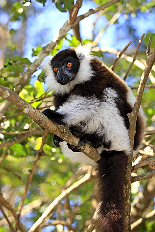 Black-and-white Ruffed Lemur (Varecia variegata), adult in a tree, Madagascar, Africa