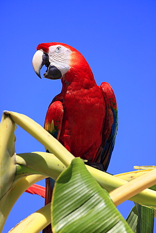 Scarlet Macaw (Ara macao), adult, perched on a banana tree, screeching, Roatan, Honduras, Caribbean, Central America, Latin America