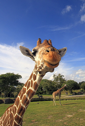Reticulated Giraffe (Giraffa camelopardalis reticulata), adult, portrait, in captivity, Florida, USA