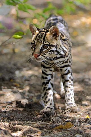 Ocelot (Leopardus pardalis, Felis pardalis), adult male, Honduras, Central America