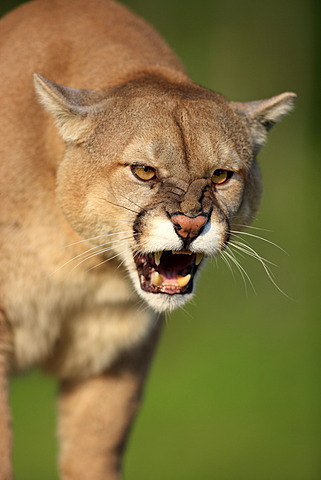 Cougar or Puma (Puma concolor, Felis concolor), adult, spitting, threatening, Minnesota, USA