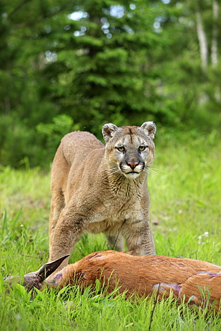 Cougar or Puma (Puma concolor, Felis concolor), adult with prey, Minnesota, USA