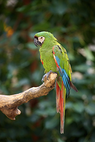 Chestnut-fronted Macaw or Severe Macaw (Ara severus syn. Ara severa), adult, perched on branch, Florida, USA