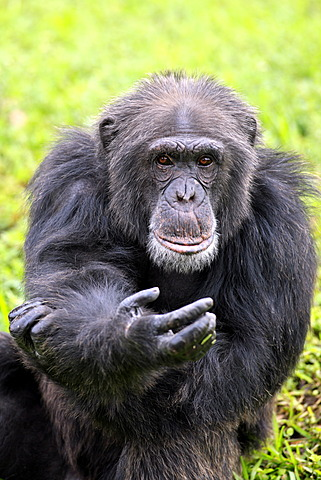 Chimpanzee (Pan troglodytes troglodytes), male, begging, captive, Florida, USA