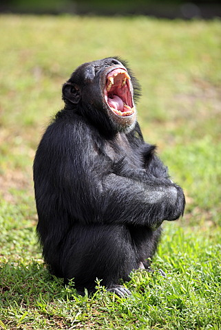 Chimpanzee (Pan troglodytes troglodytes), male, yawning, captive, Florida, USA