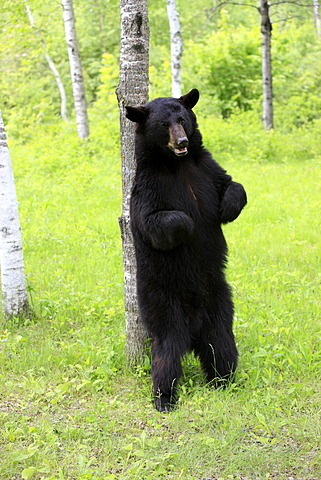 American black bear (Ursus americanus), adult, standing upright, scratching at tree, Minnesota, USA