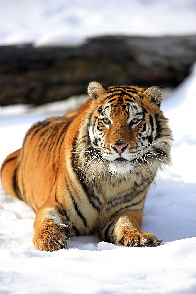 Siberian tiger (Panthera tigris altaica), snow, captive, Montana, USA
