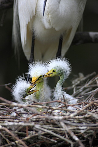 Great Egret (Egretta alba), juvenile birds, chicks in the nest, Florida, USA