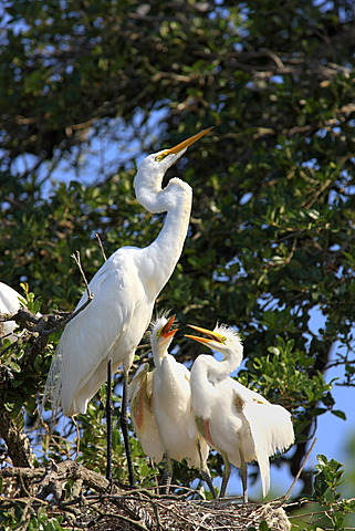 Great Egret (Egretta alba), juvenile birds on the nest begging adult bird for food, Florida, USA