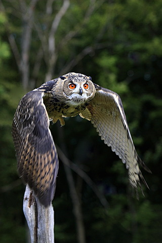 Eagle Owl (Bubo bubo), adult, in flight, Germany, Europe