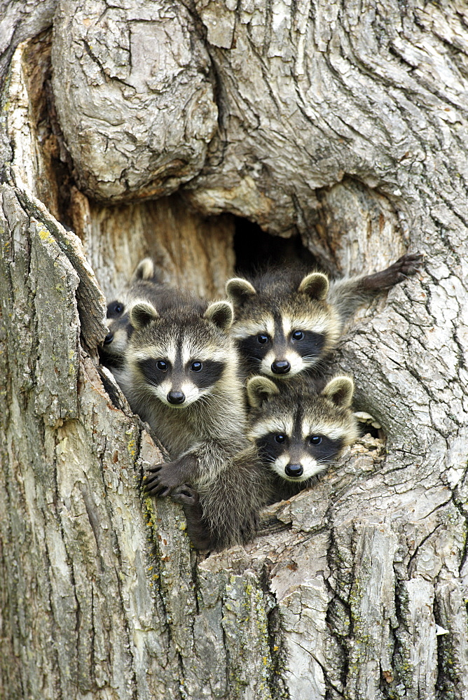 Raccoons (Procyon lotor), kits peeping out of den, portrait, Minnesota, USA