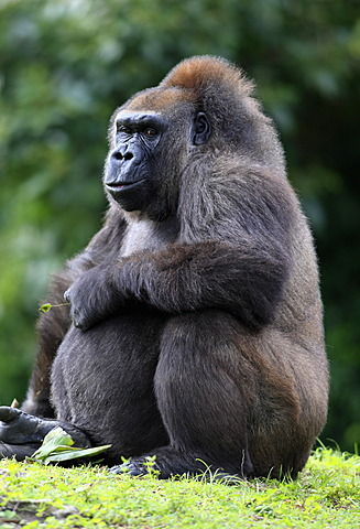 Western Lowland Gorilla (Gorilla gorilla), adult, female, captive, Florida, USA, North America