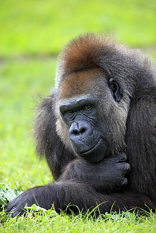 Western Lowland Gorilla (Gorilla gorilla), adult, female, captive, Florida, USA, North America