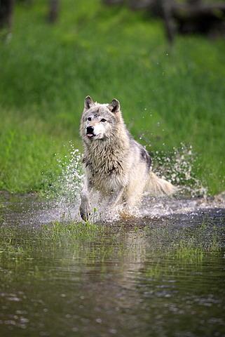 Wolf (Canis lupus), adult, running through water, Minnesota, USA, North America