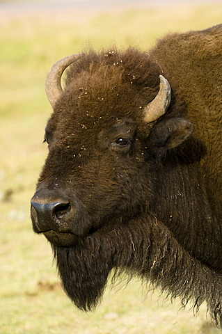 American Bison (Bison bison), Custer State Park, Black Hills, South Dakota, USA