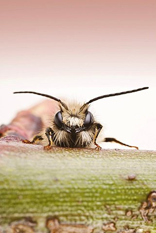 Red Mason bee (Osmia bicornis), male
