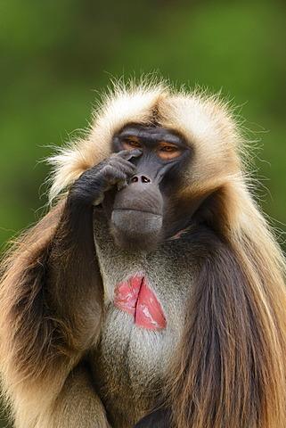 Gelada baboon or gelada (Theropithecus gelada), Stuttgart, Baden-Wuerttemberg, Germany, Europe