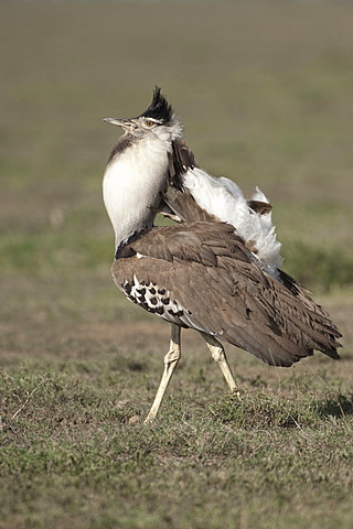 Kori Bustard (Ardeotis kori), male, in courtship display in Ndutu, Ngorongoro, Tanzania, Africa