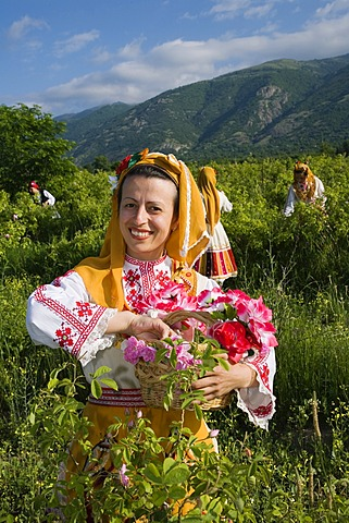 Woman plucking roses, Rose Festival for the beginning of the rose harvesting period, Karlovo, Bulgaria, Europe