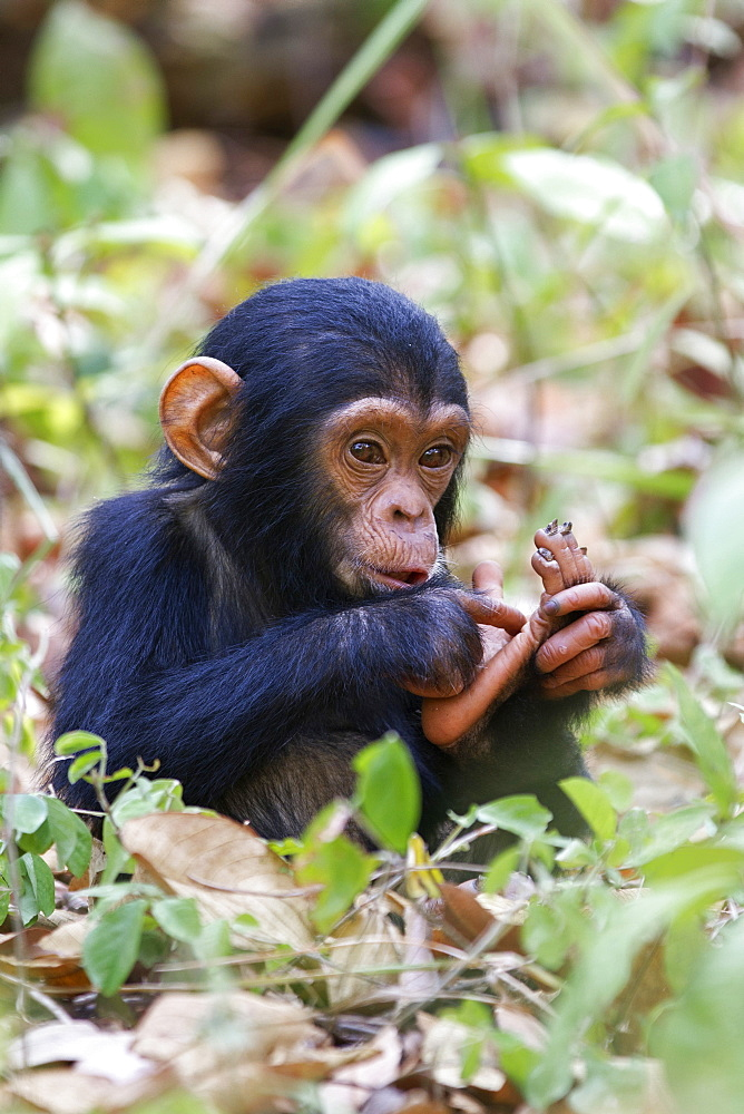 Young Chimpanzee (Pan troglodytes), baby, Mahale Mountains National Park, Tanzania, East Africa, Africa