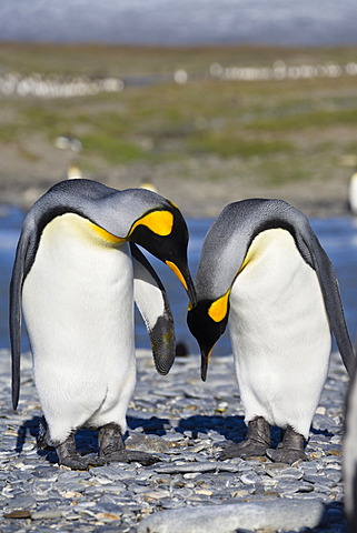 King penguins (Aptenodytes patagonicus), St. Andrews Bay, South Georgia, sub-Antarctic and Antarctic