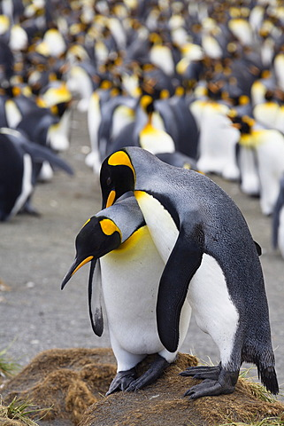King penguins (Aptenodytes patagonicus), pair in courtship, Gold Harbour, South Georgia, Antarctica