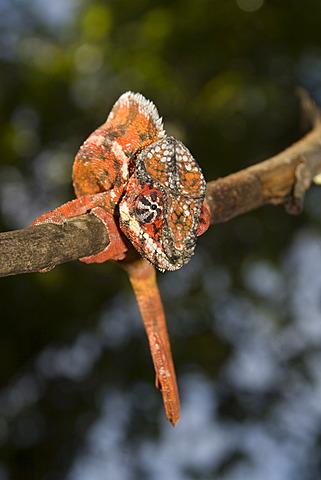 Male Short-horned Chameleon (Calumma brevicornis), Madagascar, Africa