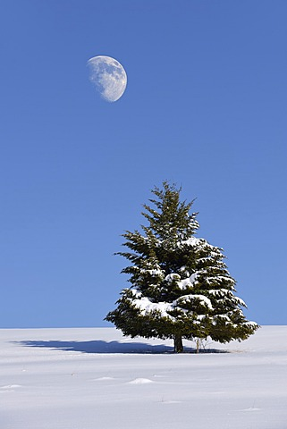 Fir (Abies sp.) in winter, Onstmettingen, Schwäbische Alb, Baden-Württemberg, Germany, Europe
