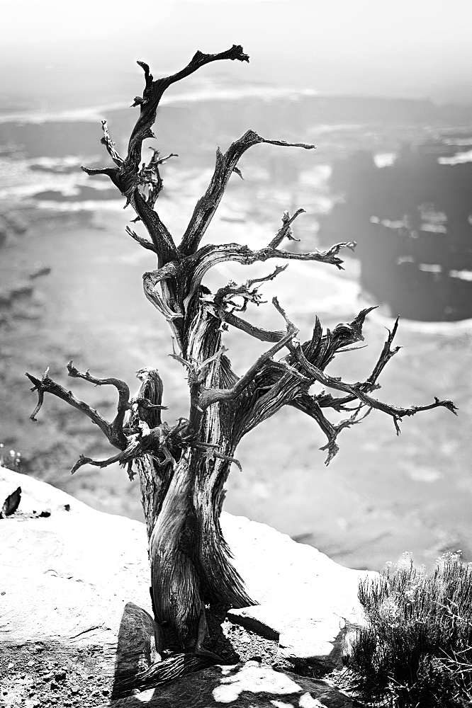 Dead tree, Grandview Point, Island in the Sky, Canyonlands National Park, Utah, USA, North America