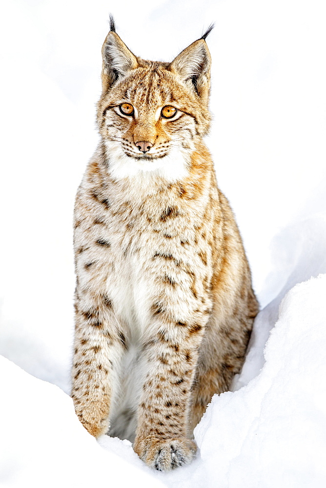 Eurasian Lynx (Lynx lynx), sitting in snow, Bavaria, Germany, Europe