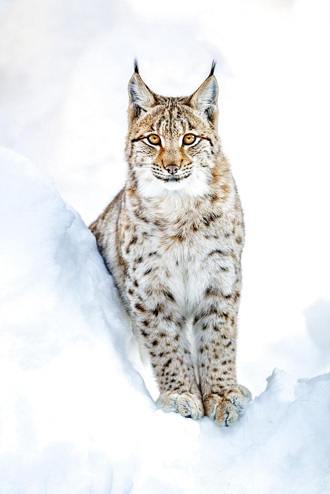 Eurasian Lynx (Lynx lynx), in snow, Bavaria, Germany, Europe