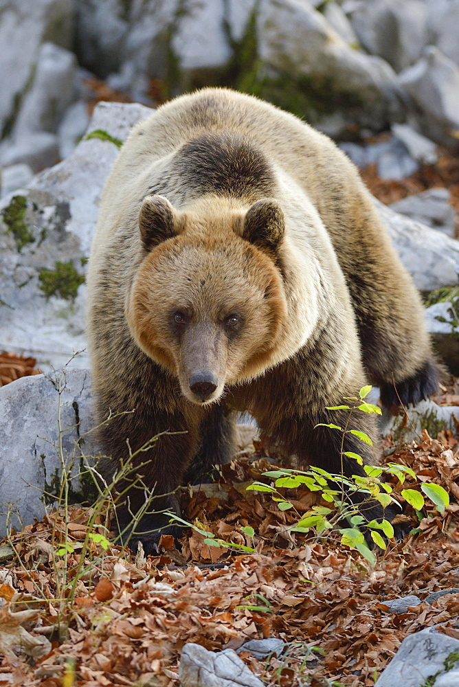 European brown bear (Ursus arctos arctos), in the karst forest, Notranjska, Slovenia, Europe