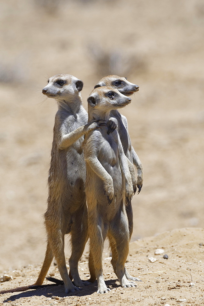 Standing meerkats (Suricatta suricata), on guard, Kgalagadi Transfrontier Park, Northern Cape, South Africa, Africa - 832-378836