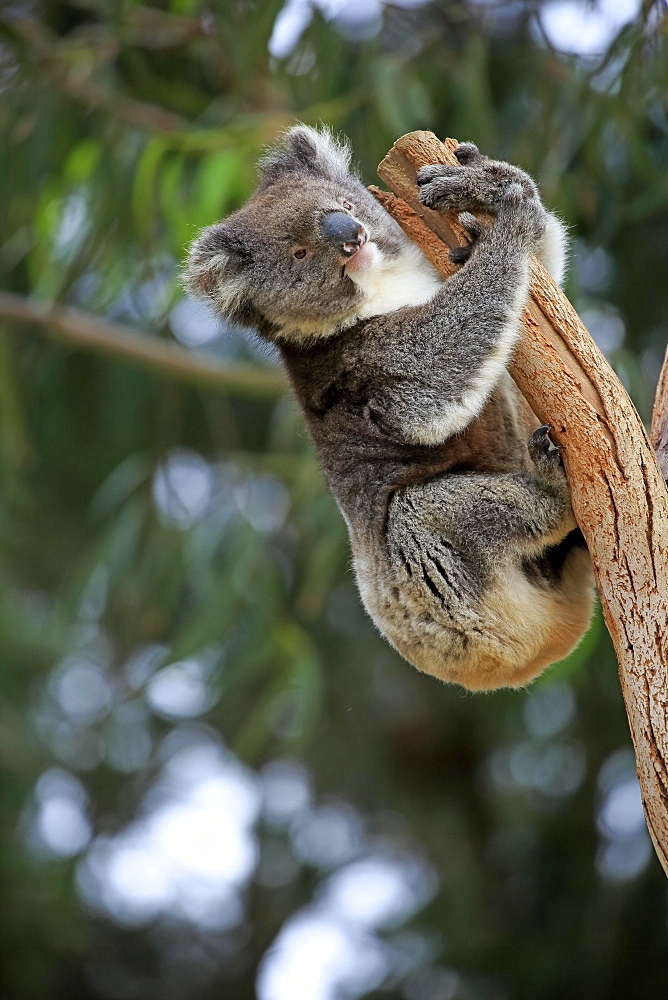 Koala (Phascolarctos cinereus) adult climbing on tree trunk, Kangaroo Island, South Australia, Australia, Oceania