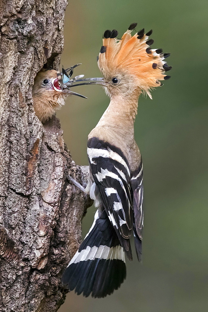 Hoopoe (Upupa epops) with Blue-winged grasshopper (Oedipoda caerulescens) as food, young birds feeding at brood cave, Biosphere Reserve Mittelelbe, Saxony-Anhalt, Germany, Europe