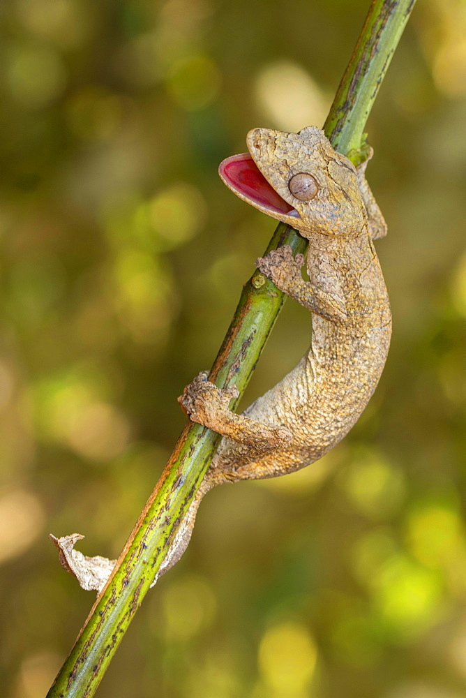 Gunter's flat-tail gecko (Uroplatus guentheri) on branch near Antsohihy, western Madagascar, Madagascar, Africa