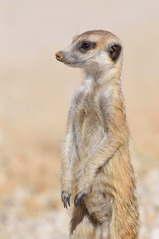 Meerkat (Suricata suricatta), young male standing, watchful, Kgalagadi Transfrontier Park, Northern Cape, South Africa, Africa