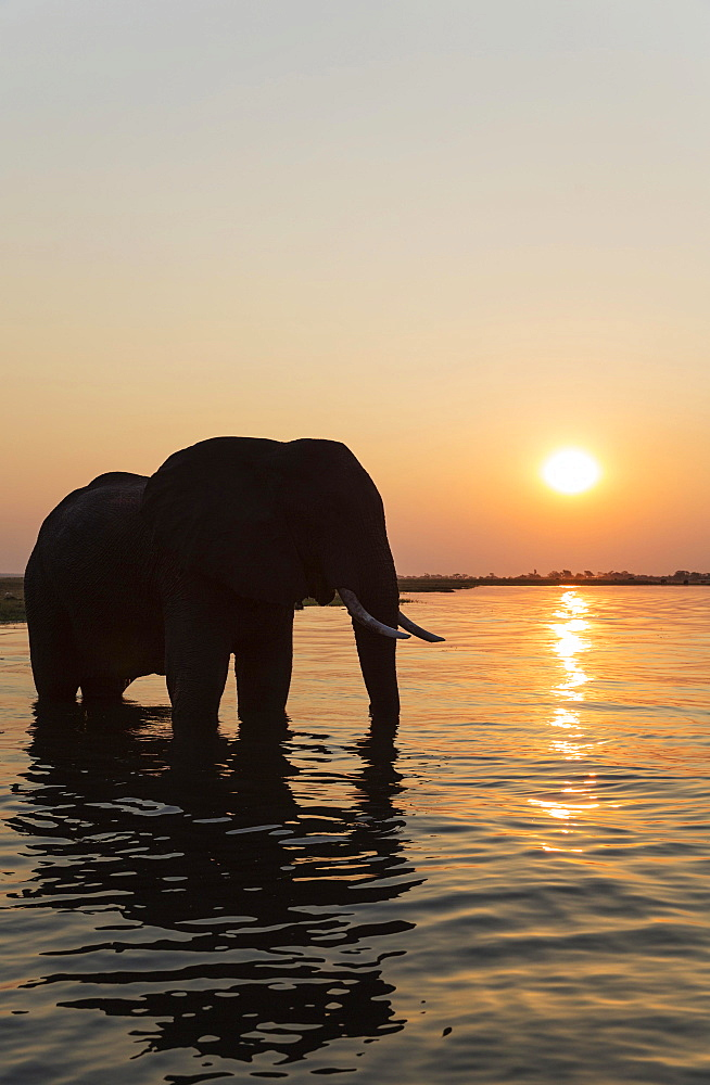 African Elephant (Loxodonta africana), bull at sunset in the Chobe River, Chobe National Park, Botswana, Africa
